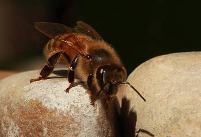 Photograph - Honeybee by Brad Chambers