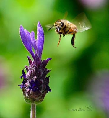 Honeybee And Lavendar Blossom Art Print