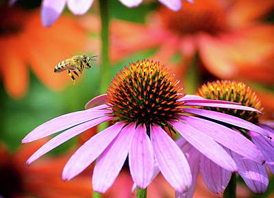 Photograph - Honeybee Flying To A Coneflower by Rodney Campbell
