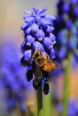 Blue Grapes Photograph - Honeybee In A Sea Of Blue by Chris Berry