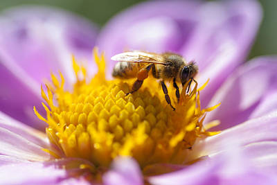 Photograph - Honeybee On A Dahlia Flower by Charles Harden
