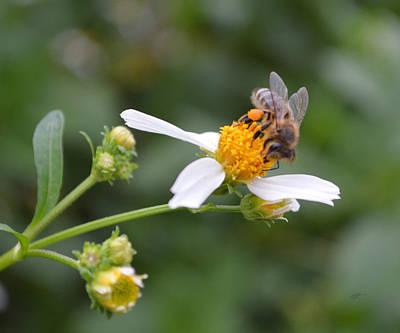 Photograph - Honeybee On Bidens Alba by rd Erickson