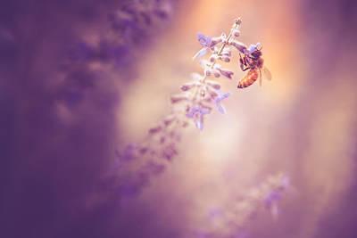 Honeybee On Lavender Art Print by Debi Bishop