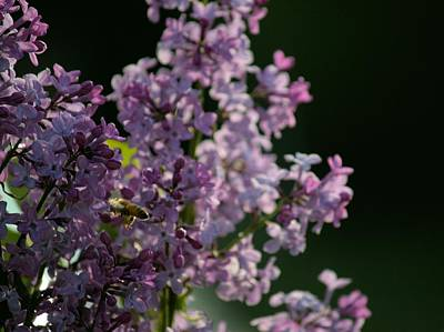 Photograph - Honeybee On Lilac by Scott Carlton