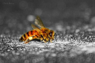 Photograph - Honeybee On Silver by Chris Berry