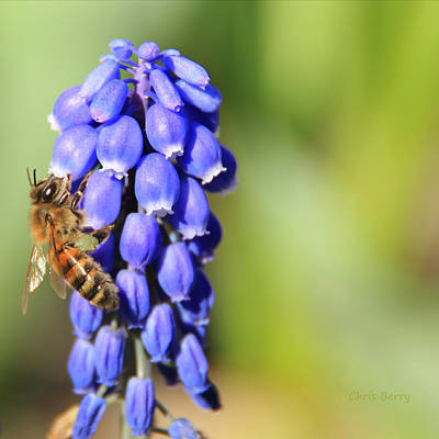 Photograph - Honeybee On Single Grape Hyacinth by Chris Berry