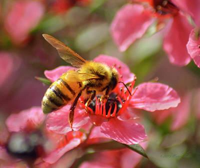 Tea Tree Flower Photograph - Honeybee On Tea Tree Blossom by Brian Tada