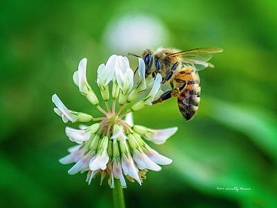 Photograph - Honeybee On White Clover..... by Timothy Harris