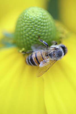 Photograph -  Honeybee On Yellow by Brooke T Ryan
