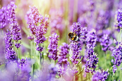 Photograph - Honeybee Pollinating Lavender Flower Field by Michal Bednarek