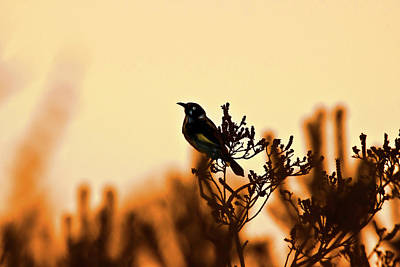 Photograph - Honeyeater In Sunset  by Miroslava Jurcik