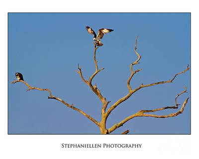 Honeymoon Osprey Art Print