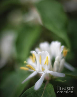 Photograph - Honeysuckle Blooms by Fred Lassmann