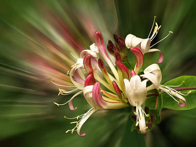Photograph - Honeysuckle Breeze by Gill Billington