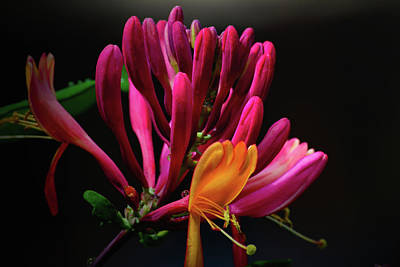 Photograph - Honeysuckle Love by Tikvah's Hope