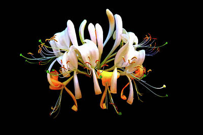 Photograph - Honeysuckle On Black by Nick Kloepping