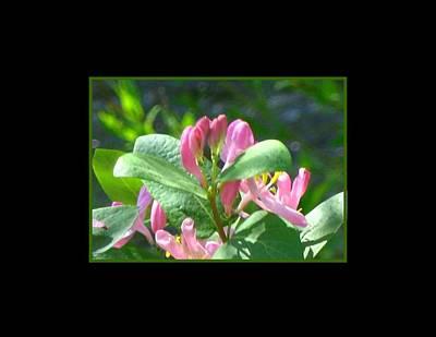 Honeysuckle Pink Photograph Art Print by Gretchen Wrede