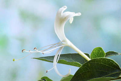 Photograph - Honeysuckle Portrait. by Terence Davis