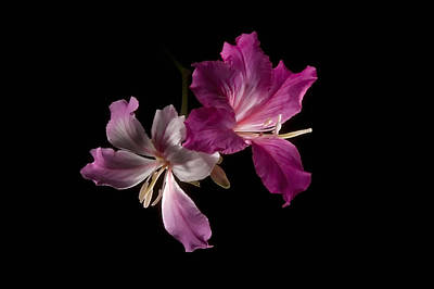 Photograph - Hong Kong Orchid 4 by Lou  Novick