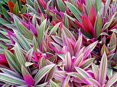 Photograph - Honolulu Rhoeo Spathacea by Robert Meyers-Lussier
