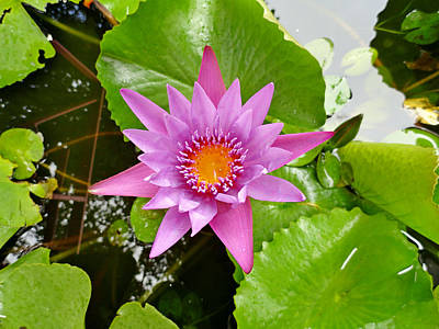 Photograph - Honolulu Water Lily by Robert Meyers-Lussier
