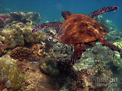 Hawaiian Green Sea Turtle Photograph - Honu At 69 Beach by Bette Phelan