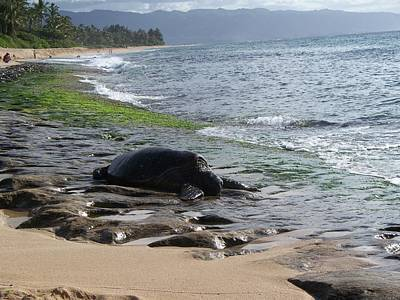 Honu At Laniakea Print by Grant Wiscour