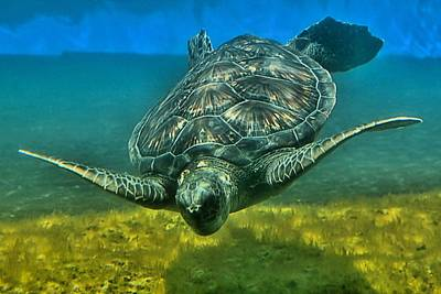Honu Photograph - Honu by DJ Florek