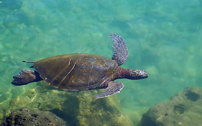 Photograph - Honu Gliding Along by Pamela Walton