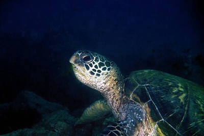 Photograph - Honu, Green Sea Turtle 1 by Pauline Walsh Jacobson