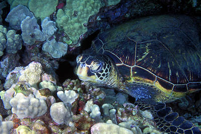 Photograph - Honu, Green Sea Turtle 2 by Pauline Walsh Jacobson