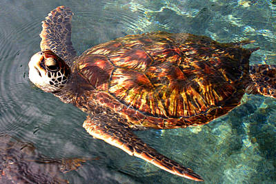 Green Sea Turtle Photograph - Honu Green Sea Turtle Maui Hawaii by Pierre Leclerc Photography