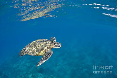 Green Sea Turtle Photograph - Honu In Blue Ocean by Dave Fleetham - Printscapes