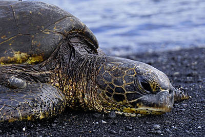 Photograph - Honu by Marcus Donner