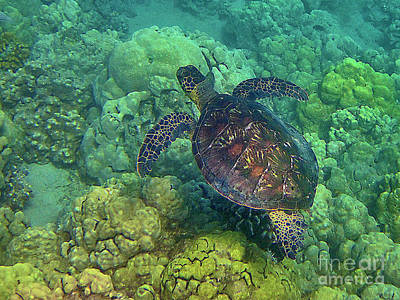 Hawaiian Green Sea Turtle Photograph - Honu Swimming Over Coral by Bette Phelan