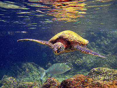 Hawaiian Green Sea Turtle Photograph - Honu With Reef Fish by Bette Phelan