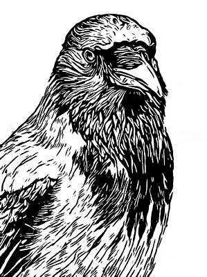 Drawing - Hooded Crow Line Art Woodcut Type Illustration by Philip Openshaw