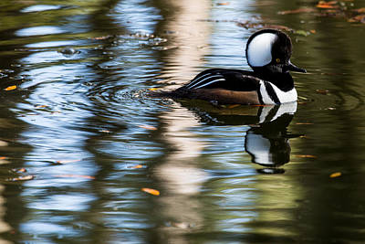 Photograph - Hooded Merganser 5577 by Brent L Ander