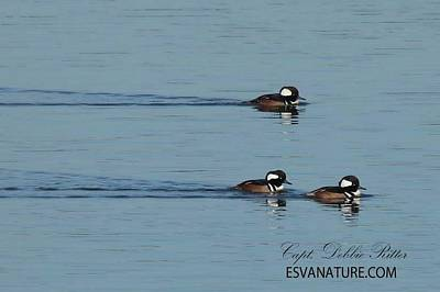Photograph - Hooded Merganser 9712 by Captain Debbie Ritter
