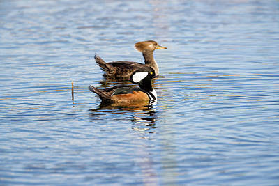 Photograph - Hooded Merganser Courtship by Fran Gallogly