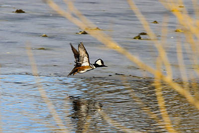 Photograph - Hooded Merganser In Flight by Juli Ellen