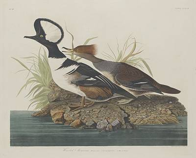 Cormorant Drawing - Hooded Merganser by Dreyer Wildlife Print Collections