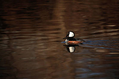 Photograph - Hooded Merganser by Karol Livote
