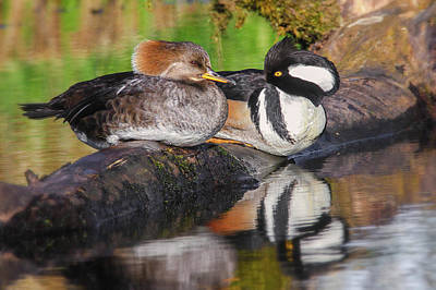 Photograph - Hooded Merganser Pair by Craig Strand