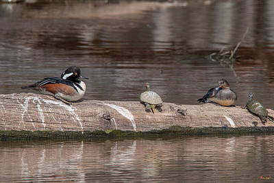 Photograph - Hooded Merganser Pair Resting Dwf0174 by Gerry Gantt