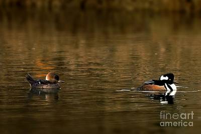 Photograph - Hooded Mergansers by Sheila Ping
