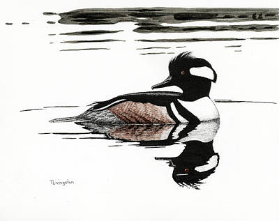 Drawing - Hooded Merganzer by Timothy Livingston