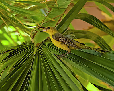 Photograph - Hooded Oriole H01 by Mark Myhaver