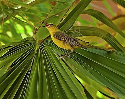 Photograph - Hooded Oriole H03 by Mark Myhaver