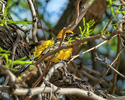 Photograph - Hooded Oriole V1835 by Mark Myhaver